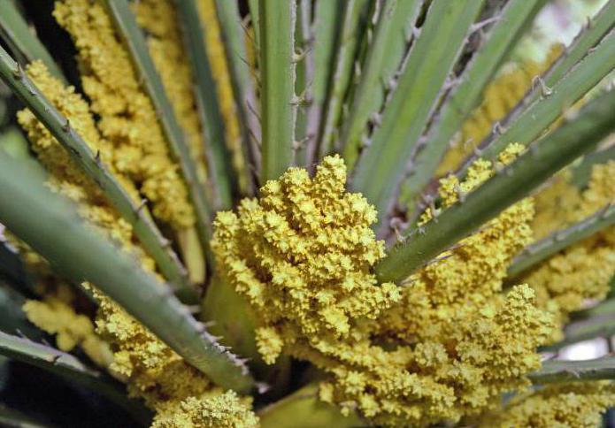 Palm Тозаң: пікірлер, өтініштер, ерекшеліктері, пайдалану