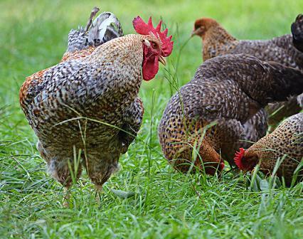 velká kuřata s velkými ptáky