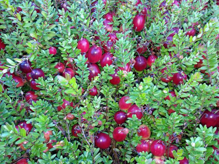 Lingonberries en bosbessies: verskille en nuttige eienskappe