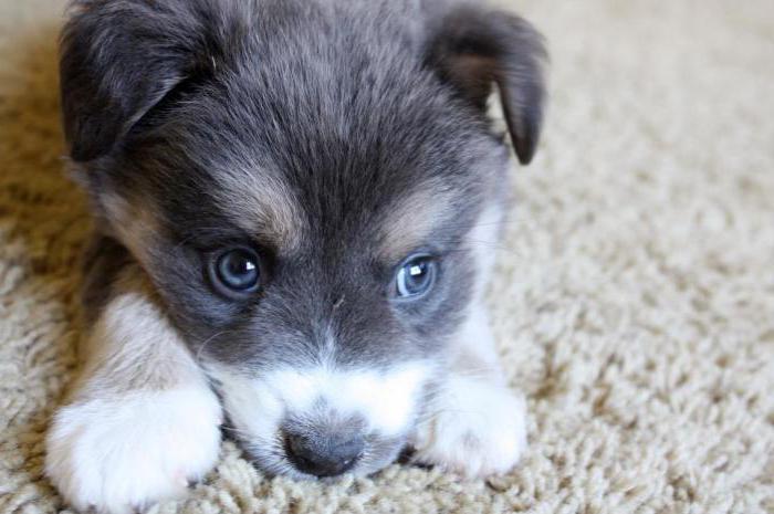 Anjing Kampung Adalah Tidak Lebih Buruk Daripada Berdarah Murni Penerangan Dan Sifat Baka