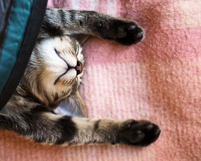 על חתול חלום